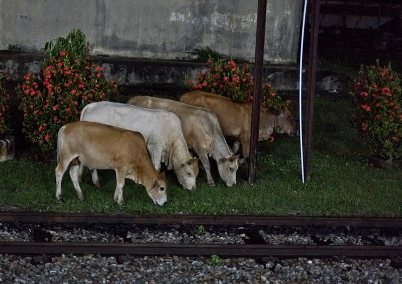 Low light focus improvement - Cattles grazing at Railway track
